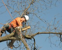 long_island_best_tree_(guy_in_tree_cutting_it_down)